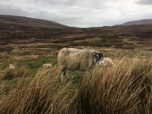 Isle of Skye sheep - kktravelsandeats